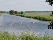 Dwa łabędź w jeziorze Obraz Royalty Free
