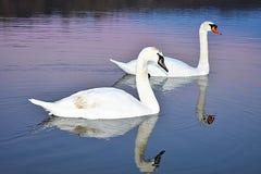 Dwa łabędź wolno pływają przez jezioro Zdjęcia Royalty Free