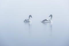 Dwa łabędziątka Mglisty jezioro zdjęcia stock