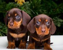Dwa ładnego szczeniaka jamnika psa szczęśliwego nowego roku 2018 Obraz Stock