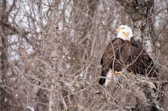 Dwa Łysy Eagles żadny liście drzewni zdjęcie stock