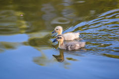 Dwa ślicznego kaczątka Zdjęcie Royalty Free