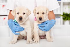 Dwa ślicznego labradora szczeniaka siedzi na stole przy weterynaryjnym obrazy royalty free