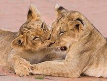 Dwa ślicznego lwa lisiątka bawić się na piasku w Kalahari Fotografia Royalty Free