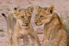 Dwa ślicznego lwa lisiątka bawić się na piasku w Kalahari Fotografia Stock