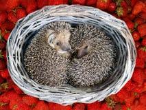 Dwa ślicznego młodego jeża fryzowali up wśrodku łozinowego od winogradów koszy na stosie truskawki Zdjęcie Royalty Free