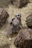 Dwa ślicznego meercats Fotografia Stock