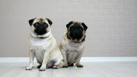 Dwa ślicznego mopsa psa siedzi na podłodze w pokoju odizolowywającym na białym tle, psi najlepszy przyjaciele zbiory