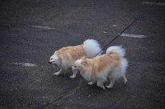 Dwa ślicznego psa chihuahua traken biegają wzdłuż asfaltowej drogi na smyczach w kierunku wiatru Mali psiego przedstawienia ekspo zdjęcie stock
