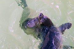 Dwa ślicznej potomstwo foki pływa i bawić się w wodzie zdjęcia royalty free