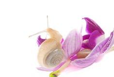 Dwa ślimaczka na kwiatach (odizolowywających na biel) Fotografia Royalty Free