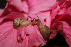 Dwa ślimaczka na poślubnika kwiacie Fotografia Royalty Free