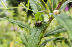 Dwa ślimaczka na roślina liściu Zdjęcia Stock