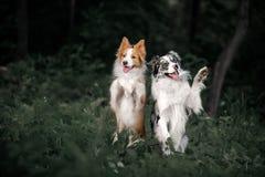 Dwa śmiesznego Border Collie psa siedzą na tle greenery obrazy stock