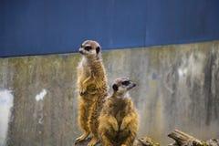 Dwa śmiesznego meerkats na skałach przy zoo fotografia royalty free