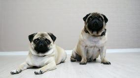 Dwa śmiesznego mopsa psa siedzi i kłama na podłodze w pokoju odizolowywającym na białym tle, psi najlepszy przyjaciele zbiory wideo