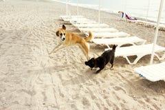 Dwa śmiesznego psa biega i bawić się Fotografia Stock