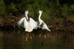 Dwa Śnieżnego Egret walka Zdjęcia Royalty Free