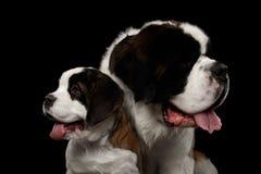 Dwa świętych Bernard pies, szczeniak i jej mama na Odosobnionym Czarnym tle, Zdjęcia Stock