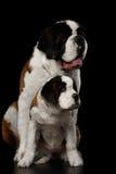 Dwa świętych Bernard pies, szczeniak i jej mama na Odosobnionym Czarnym tle, Obraz Royalty Free