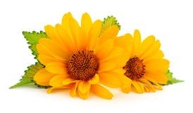 dwa żółte kwiaty zdjęcia stock