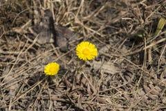 dwa żółte kwiaty Obrazy Royalty Free