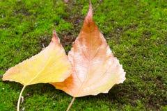 Dwa żółtego jesień liścia na zielonym tle Obraz Royalty Free