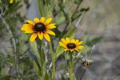 Dwa Żółtego kwiatu w Krajobrazowym łóżku Fotografia Royalty Free