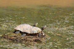 Dwa żółwi sunning obrazy royalty free
