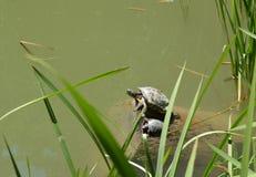 Dwa żółwia matka i lisiątka obsiadanie na brzeg staw obrazy royalty free