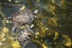 Żółw w basenie Zdjęcia Royalty Free