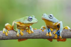 Dwa żaby latający pobyt na gałąź zdjęcia stock
