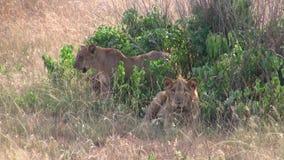 Dwa żeńskich lwów łgarskiego puszka zdjęcie wideo
