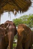 Dwa Żeńskiego Azjatyckiego słonia Pod baldachimem Zdjęcia Royalty Free