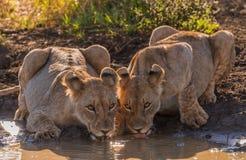 Dwa żeńskiego lwa piją wpólnie obraz royalty free