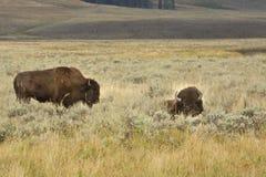 Dwa żubr w obszar trawiasty pętaczce, jeden łgarski puszek, Yellowstone Fotografia Royalty Free