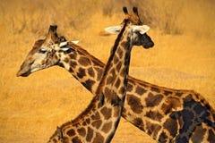 Dwa żyraf szyja Żyrafy woda pitna od jeziora, evening pomarańczowego zmierzch, duży zwierzę w natury siedlisku, Botswana, Afryka Zdjęcie Royalty Free