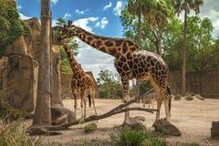 Dwa żyrafy jedzą Zdjęcie Royalty Free