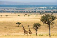 Dwa żyrafy w sawannie Kenja Tanzania 5 2009 Africa tana wschodnich maasai marszu spełniania Tanzania wioski wojowników obraz stock