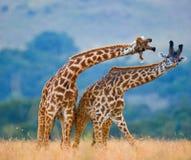 Dwa żyrafy w sawannie Kenja Tanzania 5 2009 Africa tana wschodnich maasai marszu spełniania Tanzania wioski wojowników obrazy royalty free