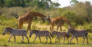 Dwa żyrafy w sawannie z zebrami Kenja Tanzania 5 2009 Africa tana wschodnich maasai marszu spełniania Tanzania wioski wojowników obrazy royalty free