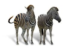 Dwa żywego zebra kochanka nad białym tłem Obraz Royalty Free