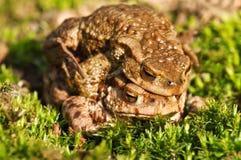 Dwa żaba Zdjęcia Stock