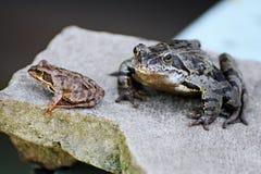Dwa żaby na popielatym kamieniu Obrazy Royalty Free