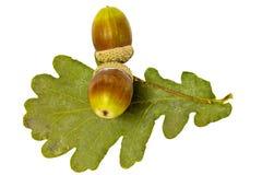 Dwa acorns Obraz Stock