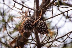 Dwa acorns na sośnie fotografia stock