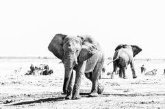 Dwa Afrykańskiego słonia, błękitnego wildebeest i antylopa, monochrom fotografia stock