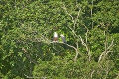 Dwa Afrykański Rybi Eagle jak nasz Amerykański Łysy Eagle, sittng na gałąź St Lucia bagna parka światowego dziedzictwa Wielkim mi Zdjęcia Stock