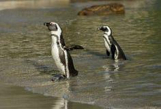 Dwa Afrykańskiego pingwinu na plaży Obraz Royalty Free