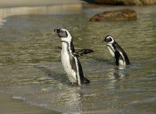Dwa Afrykańskiego pingwinu na plaży Zdjęcia Stock